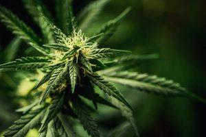 USA: l'état du Vermont utilisera Ethereum pour aider les producteurs de cannabis