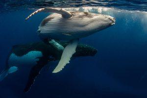 Bitcoin: le nombre de whales atteint un niveau comparable à celui de septembre 2017